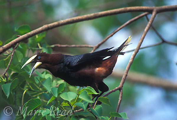 Chestnut-headed Oropendola (Psarocolius wagleri), male calling and displaying, Panama.<br /> Slide # B163-2636