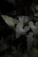 Tropical Rainforest Glasshouse (formerly Le Jardin d'Hiver or Winter Gardens), 1936, René Berger, Jardin des Plantes, Museum National d'Histoire Naturelle, Paris, France. Detail of Philodendron giganteum leaves emerging from the shadows in the Art Deco glasshouse.
