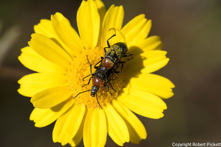 Soldier Beetles Mating, family Cantharidae, on yellow flower, covered in pollen, Algarve, Portugal