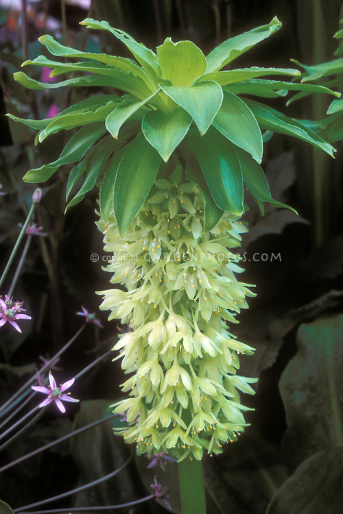 Eucomis bicolor Alba Pineapple lily exotic and dramatic summer flowering bulb, with Allium