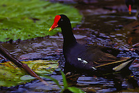 Moorhen, Hawaiian gallinule, Native bird