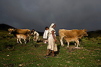 Arhuaco woman holding back calves while mother is milked, Sierra Nevada de Santa Marta, Colombia