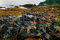 Rocky coast tidepool, with sea stars, Alaska, Pacific Ocean