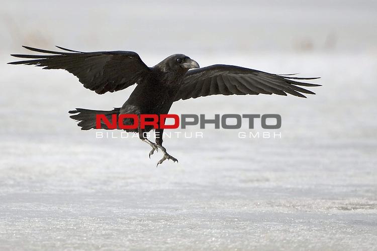 Kolkrabe (Corvus corax) fliegend bei der Landung, Eis,  Winter, MŁritz Nationalpark, Rabenvogel<br /> <br /> Foto: nordphoto *** Local Caption *** Original Naturfoto - hŲhere AuflŲsung auf Anfrage - Dig. Foto