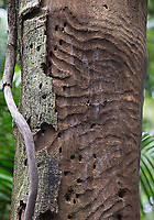 Bark has fallen away to reveal patterns in a tree trunk left by burrowing insects.