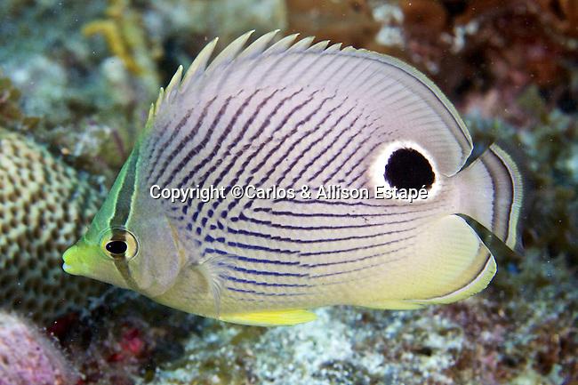 Chaetodon capistratus, Foureye butterflyfish, Florida Keys