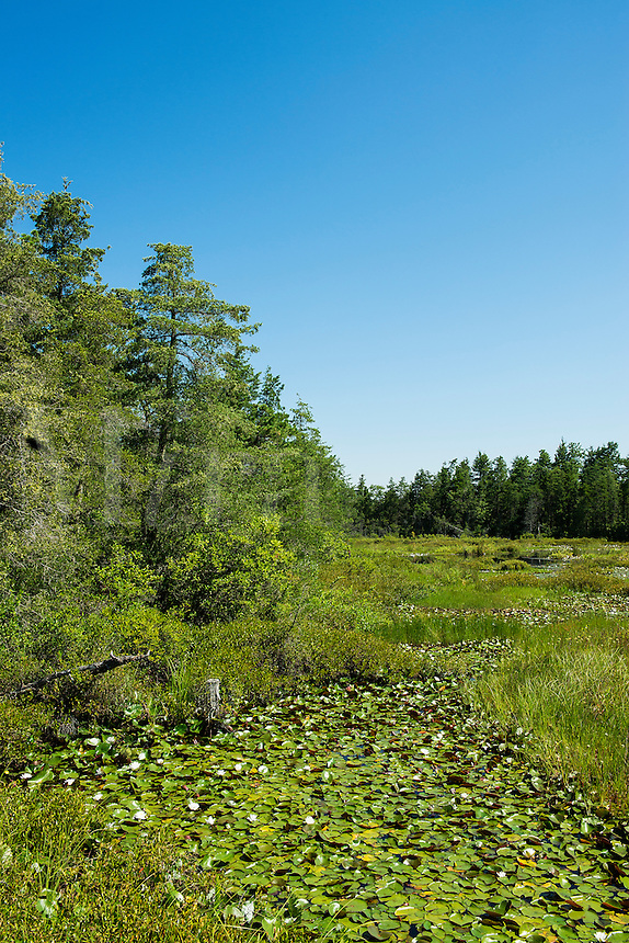 Swampy bogs, Pine Barrens, New Jersey, USA