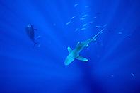oceanic whitetip shark, Carcharhinus longimanus, short-finned pilot whale, Globicephala macrorhynchus, and yellowfin tunas, Thunnus albacares, Big Island, Hawaii, Pacific Ocean
