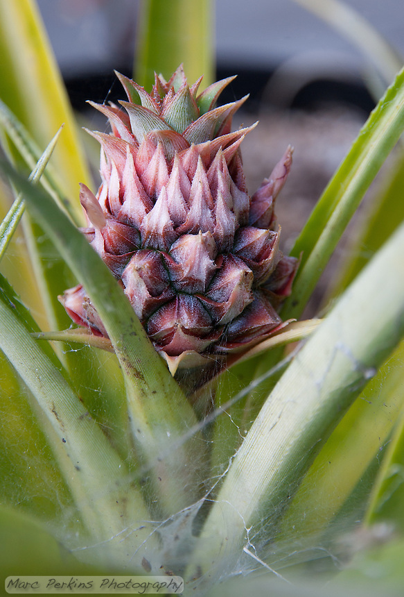 A young (and very small) pineapple inflorescense.  This is growing from a pineapple top that we planted at least five years ago in a small pot, and now it's just started to make a small flower head.  So cute!  The plant is host to a few spiders, so the base has many spiderwebs on it.