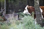 Foto: VidiPhoto<br /> <br /> ARNHEM &ndash; Met de nodige argwaan kijkt &ldquo;Bambi&rdquo; maandag in de lens van de fotograaf, alvorens het hazenpad te kiezen en zijn nieuwe vrienden tijdelijk achter te laten. De boerderij van melkveehouder en akkerbouwer Arthur van Roekel in Arnhem bij het Deelerwoud is op dit moment het toneel van een wonderlijke speling der natuur. Een verweesd damhertje heeft in het jongvee van de Arnhemse boer een nieuwe en gastvrije familie gevonden en in de boer een ferme beschermheer. En dat is nodig, want zowel jagers als de gemeente Arnhem willen het diertje (laten) afschieten. Bovendien wordt er in de bossen langs de weide volop gestroopt. Volgens de jagers verwondt het hertje met zijn gewei de koeien. Van Roekel noemt dat onzin. De dieren spelen juist met elkaar, constateert hij. &ldquo;Tot voor kort had ik hier honderd herten lopen die zo&rsquo;n 15 ha. aardappels hebben opgevreten en daar werd lange tijd niets tegen gedaan. Dit is het enige hert waar ik wel plezier van heb en daar blijven ze vanaf.&rdquo; Zijn kinderen hebben het damhert inmiddels &ldquo;Bambi&rdquo; gedoopt en ook gasten van het Boerenrustpunt bij de boerderij zijn lyrisch over de combinatie van pinken en hertje. Ondertussen snoept het jonge beestje naar hartelust mee van de koeienbrokken en graast hij in de groentetuin van de boer. Het mag allemaal. Hoe het straks moet met Bambi als zijn koeien naar de winterstalling gaan, weet Van Roekel ook niet. Stiekem hoopt hij dat het diertje mee de stal in gaat, maar omdat het nogal schuw is heeft hij daar een hard hoofd in.