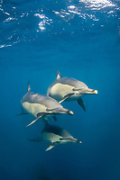 Long-beaked common dolphins, Delphinus capensis, off Port Saint Johns on the Wild Coast of South Africa