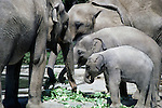 African and Indian elephants at the Woodland Park zoo eating lunch lettuce greens Seattle Washington State USA