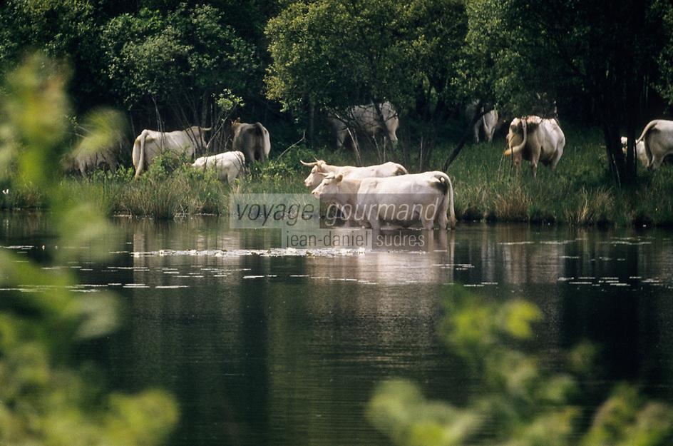 Europe/France/Limousin/23/Creuse/Env d'Ajain: Vaches charolaises dans un étang