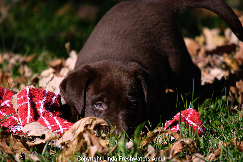 Chocolate Labrador retriever (AKC) playing in the fall leaves.  Birchwood, WI.