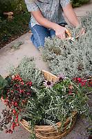 Gathering Santolina for basket of freshly harvested herbs (rosehips, rosemary, lavender cotton, Echinacea) in garden