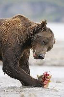 A bear catches and eats a salmon. Kodiak grizzly bear (Ursus arctos middendorffi), Kukak Bay