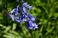 Detail of bluebells blooming in a grassy meadow.