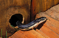 BLACK RAT SNAKE - searches sheds, garages and barns for mice..Southern Ontario, Canada..(Elaphe o. obsoleta).