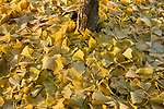 Autumn Ginko Leaves