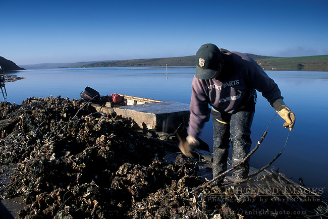 Oyster farming at Schooner Bay, Drakes Estero, Point Reyes National Seashore, Marin County, California