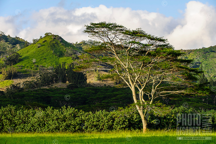 A lone tree on Koloa Ranch, Kaua'i.