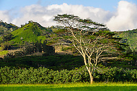 A lone tree on Koloa Ranch, Kaua'i.