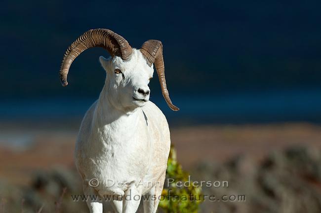 Dall sheep, Orvis dalli, Primrose Ridge, Denali National Park, Alaska, USA