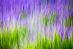Purple and green abstract of lavender field