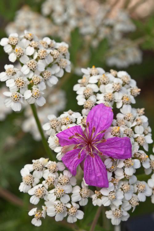 Wild geranium (Geranium caespitosum) intermixes with Western yarrow (Achillea millefolium var. lanulosa)