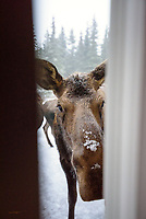 The positioning of a cow moose and one of her calves gives the impression of a very long animal as she inquisitively peers in the door from my back deck.