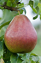 """Pear 'Forelle', early September. Also known as 'Truitee', 'Forellenbirne', Trout Pear' and 'Corail'. The origin of 'Forelle' is uncertain, probably Norther Saxony, Germnany, and known since 1670.Named because of its prominent lenticel dots resembling the markings of a trout (Forelle in German)."""" ('Pears' by Jim Arbury and Sally Pinhey)"""
