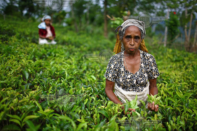 Tea farmers on their small tea field in Galatha village. Tea is one of the country's main export crops, with many small holdings, including this one, supported by the International Fund for Agricultural Development (IFAD)...