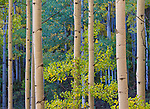 Gunnison National Forest, Colorado: Detailed colors of an aspen (Populus tremuloides) grove in fall color
