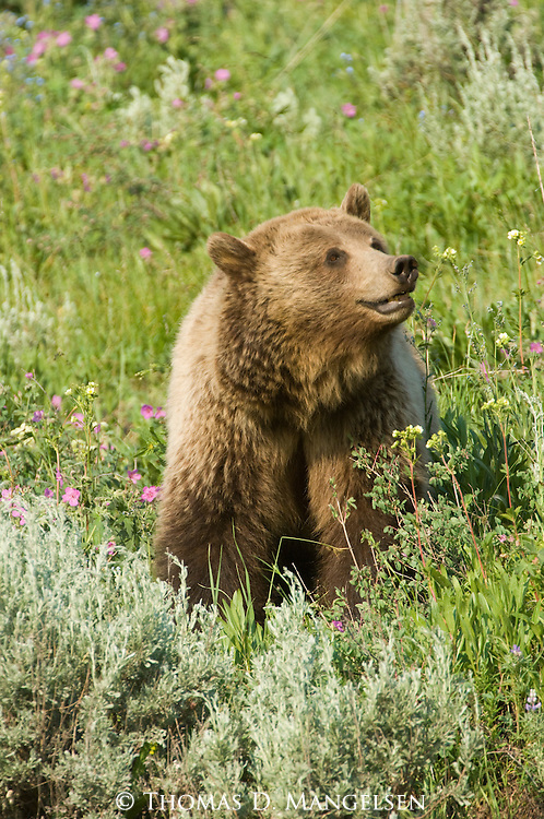 A grizzly bear stands in the sagebrush and geraniums in Yellowstone National Park, Wyoming.