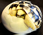 Burmese Star Turtle Birth