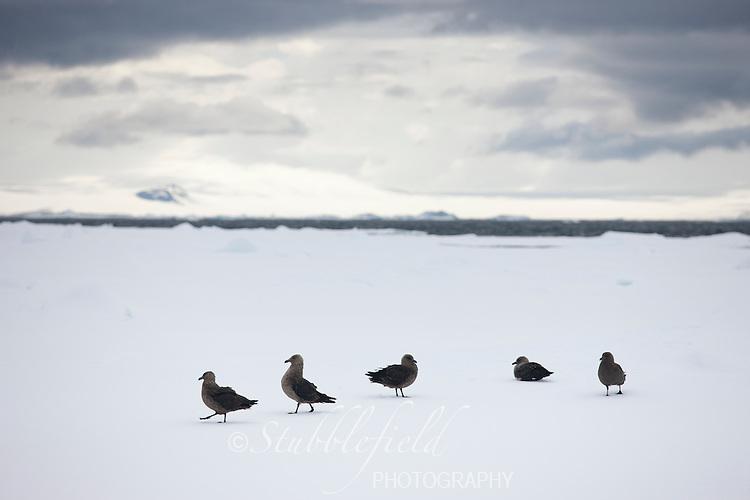 South Polar Skua (Stercorarius maccormicki) group on an ice floe in the Weddell Sea, Antarctica.