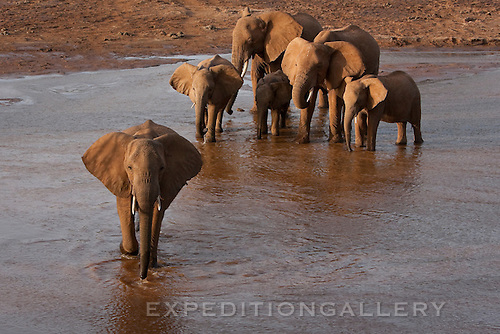 A herd of African elephants drinking water then beginning to cross the Uaso Nyiro River between Samburu and Buffalo Springs National Reserves in Kenya.