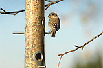 House finch,  female on backyard feeder.