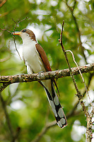 Yellow-billed cuckoo building nest