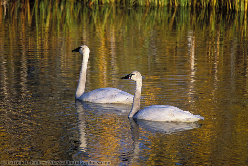Mating pair of Trumpeter swans in a tundra pond along the George Parks Highway, Alaska