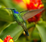 COSTA RICA - OCTOBER 19: A tight shot of a hummingbird in Costa Rica on October 19, 2003. There are over 50 different hummingbird species that live in Costa Rica alone.(Photo by: Donald Miralle)
