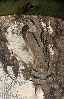 Wendehals, füttert am Nistkasten, Jynx torquilla, wryneck