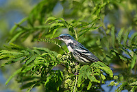 591730015 a wild male cerulean warbler setophaga cerulea songbird  texas on south padre island texas united states