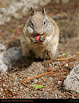 California Ground Squirrel with Full Cheeks Munching a Nut, Otospermophilus beecheyi, Mirror Lake, Yosemite National Park