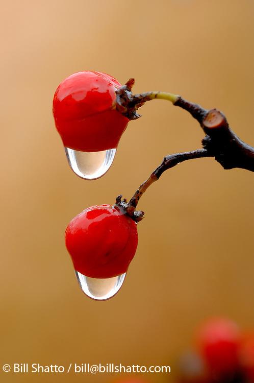 Bittersweet Berries in the Rain.