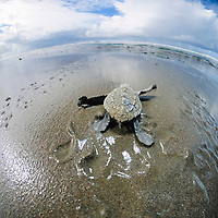 olive ridley sea turtle hatchling, Lepidochelys olivacea, heading to the ocean, Ostional, Costa Rica, Pacific