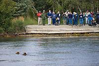 Tourists view Brown bears in Brooks River, Katmai National Park, southwest, Alaska.