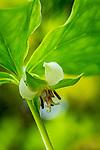 Nodding Trillium (Trillium cernuum) in Leonard's Mills, Bradley, Maine, USA