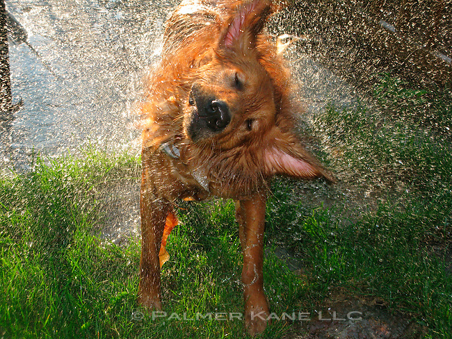 Soaked Golden Retriever shaking off water