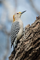 Golden-fronted Woodpecker, Santa Clara Ranch, South Texas